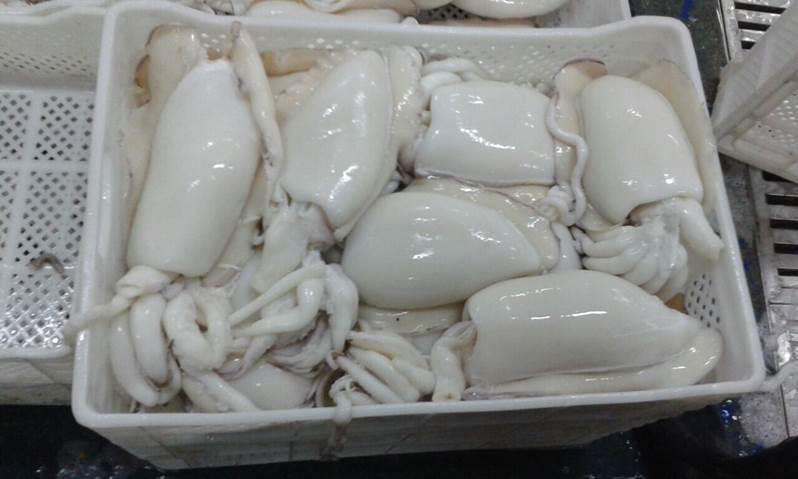 squid Ella